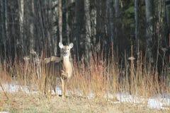 鹿母鹿白尾鹿 库存照片