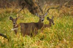 鹿母鹿被盯梢的白色 库存图片