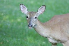 鹿母鹿被盯梢的白色 库存照片