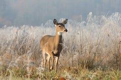 鹿母鹿被盯梢的白色 免版税库存图片
