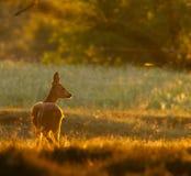 鹿母鹿轻的moring的獐鹿 免版税库存照片