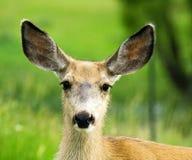 鹿母鹿题头骡子射击 免版税库存图片
