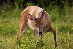 鹿母鹿饥饿的尾标白色 免版税库存照片