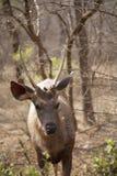 鹿水鹿 图库摄影
