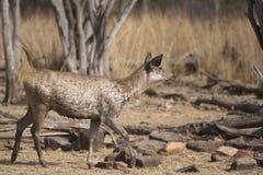 鹿水鹿 免版税库存照片