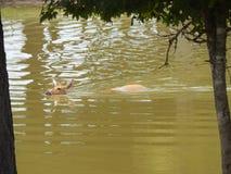 鹿游泳 免版税库存图片