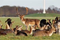 鹿牧群在菲尼斯在都伯林,爱尔兰停放 库存照片
