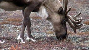 鹿牧群在Chukotka小山的寒带草原  股票视频