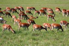 鹿牧群  库存图片