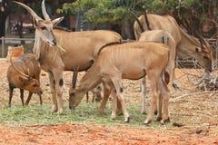 鹿牧群  图库摄影
