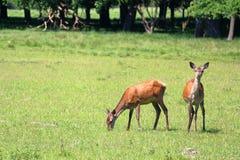鹿牧群  免版税库存照片