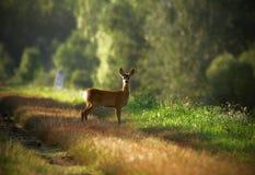 鹿獐鹿年轻人 库存图片