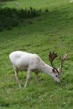 鹿獐鹿白色 库存图片