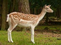 鹿獐鹿 库存照片