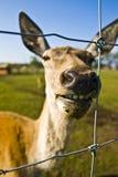 鹿獐鹿 免版税图库摄影