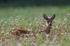 鹿獐鹿 库存图片