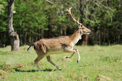 鹿獐鹿 免版税库存照片