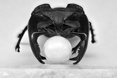 鹿甲虫拿着空泡的果子在它的垫铁的 免版税库存照片