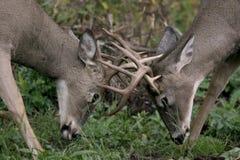 鹿男性尾标白色 库存照片