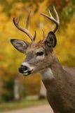 鹿男性尾标白色 免版税库存图片