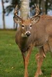 鹿男性尾标白色 图库摄影
