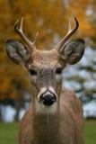 鹿男性尾标白色 免版税库存照片