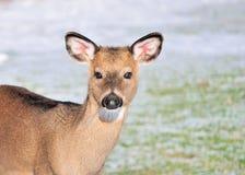 鹿白尾鹿一岁 免版税库存照片