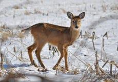 鹿白尾鹿年轻人 库存照片