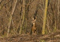 鹿白尾鹿 库存图片