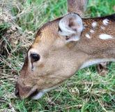 鹿的侧面 库存照片