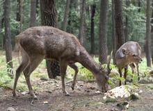 鹿的在印度尼西亚吃东西 库存图片