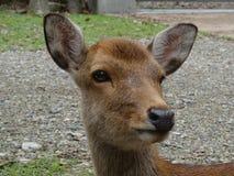 鹿的头的接近的图片在奈良公园,日本的 库存照片