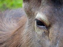 鹿的眼睛 免版税图库摄影