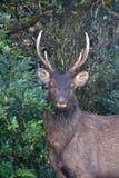 鹿的画象 免版税图库摄影