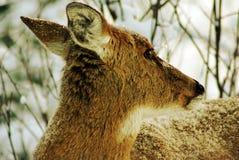 鹿盯梢白色 免版税图库摄影