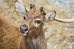 鹿盯梢白色 免版税库存图片