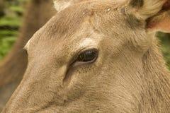 鹿眼睛特写镜头 免版税库存图片