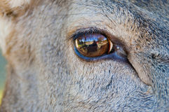 鹿眼睛 免版税图库摄影