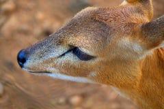 鹿眼睛 免版税库存图片