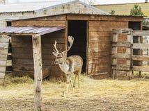 鹿离开房子并且去 免版税库存图片