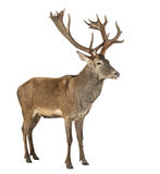 鹿红色雄鹿 库存图片