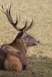 鹿红色 免版税库存图片