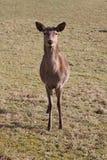 鹿红色 免版税库存照片