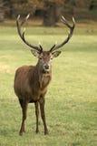 鹿红色 库存照片