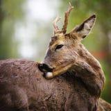鹿纵向 免版税库存图片