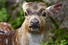 鹿纵向 免版税库存照片
