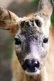 鹿纵向sika年轻人 免版税图库摄影