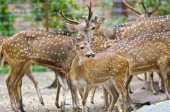 鹿组 免版税图库摄影
