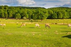 鹿群吃草在绿色领域的,横过喀尔巴阡山脉 库存照片