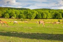 鹿群吃草在绿色领域的,横过喀尔巴阡山脉 免版税库存图片